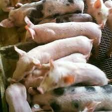 Productores de cerdos, alertaron  sobre la aparición en el país de un brote de neumonía, el cual tiene alta mortalidad para esos animales.